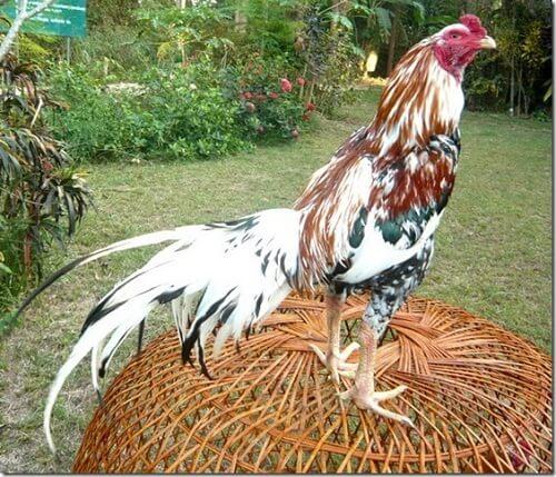 usaha ternak ayam bangkok