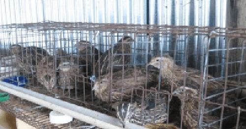 Usaha ternak burung puyuh