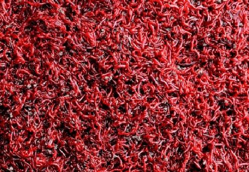 usaha ternak cacing sutra