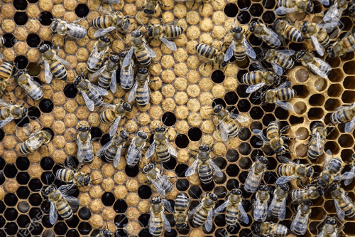 usaha ternak lebah madu