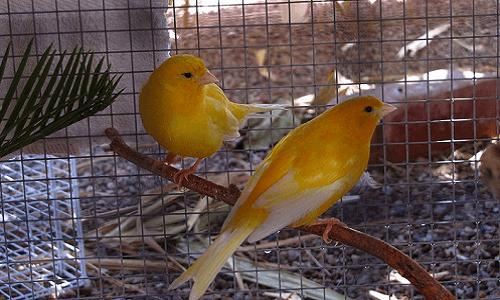 Ternak Burung Kenari