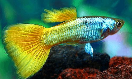 Ternak Ikan Hias
