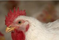 mengobati ayam ngorok