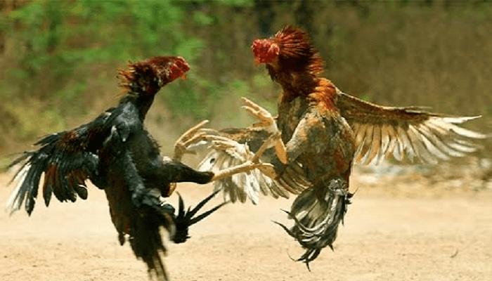 Keberadaan Sabung Ayam Di Indonesia