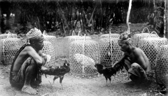 sabung ayam di sulawesi