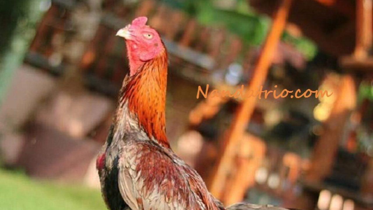 Cara Merawat Ayam Bangkok Agar Jadi Petarung Handal