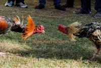perawatan rutin ayam aduan