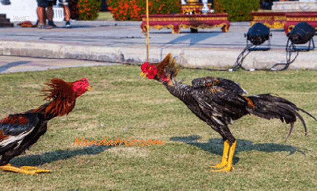 Latihan Abar Ayam Bangkok