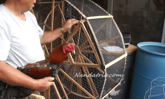 Latihan fisik Ayam Bangkok