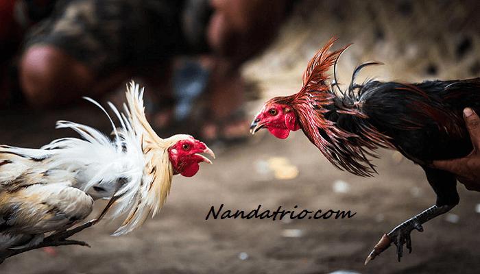 Melatih Nafas Ayam Bangkok