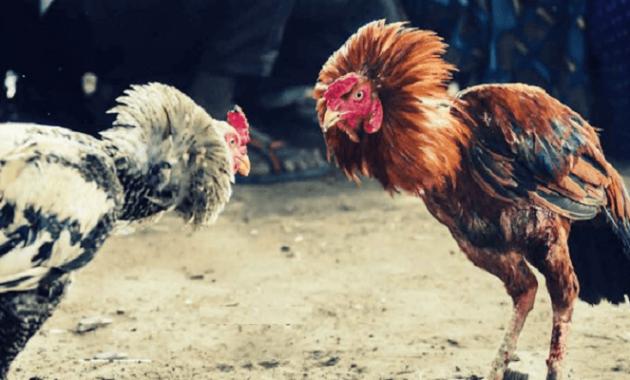 Melatih Ayam Bangkok