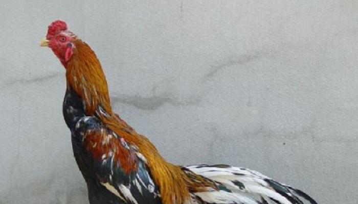 Begini Cara Menguatkan Leher Ayam Aduan Jadi Sekeras Beton