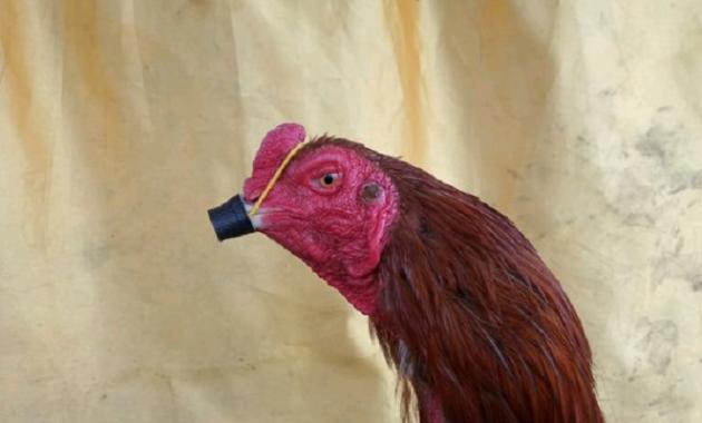 bungkus paruh ayam