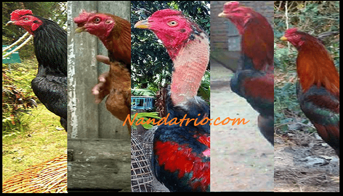 Jenis Ayam Aduan Terbaik Yang Populer Saat Ini