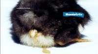 Penyakit Berak Kapur Pada Ayam