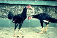 Ayam Aduan Kurus dan Susah Gemuk