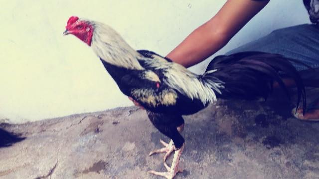 Ayam Bangkok Jalak