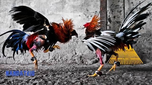 Ayam Teknik Solah