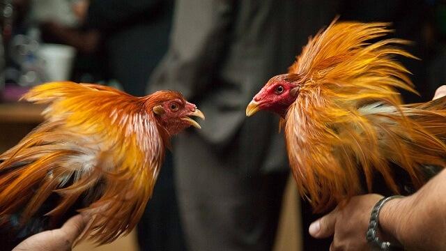 Primbon Ayam Wiring Kuning Asli Serta Ciri Dan Kelebihannya