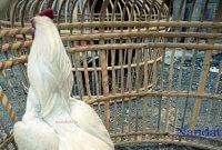 Katurangan Ayam Aduan