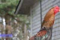 Warna Bulu Ayam Bangkok Aduan