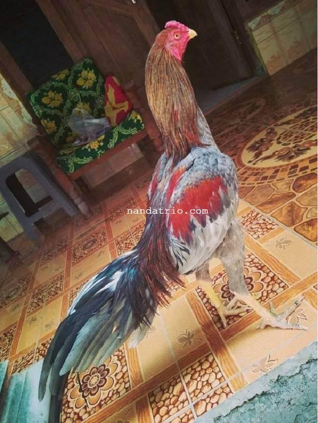Ayam Bangkok Kelabu