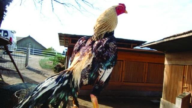 ayam bangkok shamo