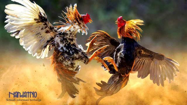 gaya bertarung ayam berubah