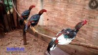 kesalahan merawat ayam aduan