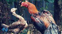 Mengawinkan Ayam Bangkok