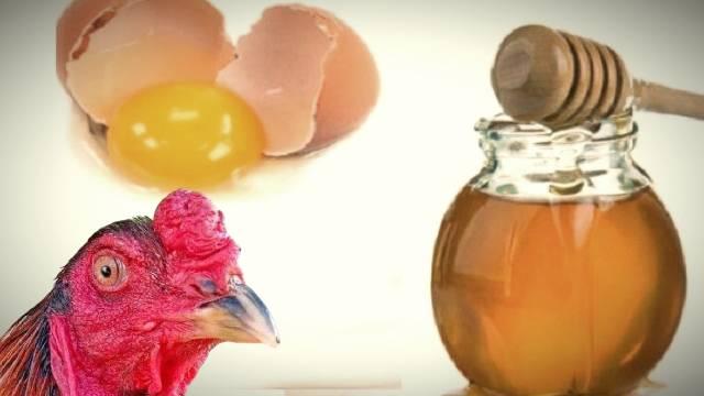 Pemberian Madu dan Telur Untuk Ayam Bangkok Aduan