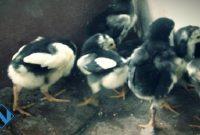 perawatan ayam bangkok baru menetas