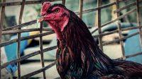 Pola dan Teknik Bertarung Ayam Bangkok