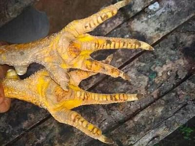 contoh kaki batu rantai
