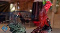 Ayam Aduan Brakot