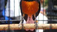 Burung Murai Sering Mengangkat Kaki