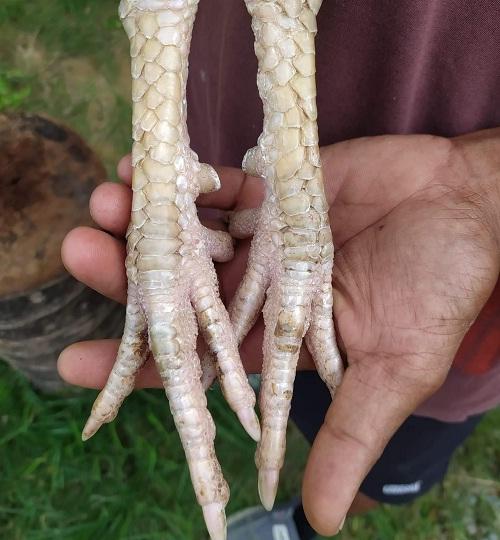 kaki ayam putih