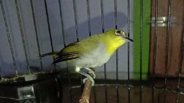 Burung Pleci Malas Bunyi