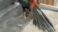 memanjangkan ekot ayam